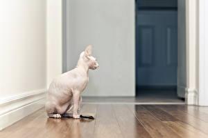 Картинки Кошки Сфинкс кошка Сидя Паркет Белая