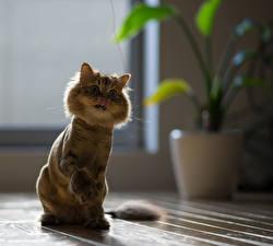 Картинки Коты Сидит Daisy Животные