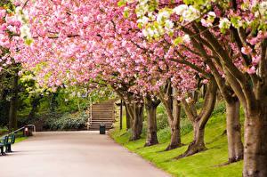 Обои Цветущие деревья Англия Великобритания Дерева Сакура Аллея Sheffield цветок Природа