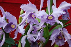 Фотографии Орхидея Крупным планом Фиолетовая цветок