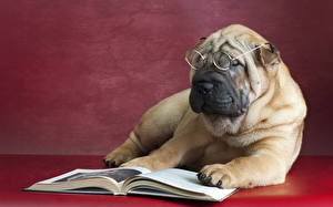 Фото Собаки Книга Очки Шарпей Животные