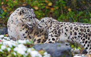 Фотографии Большие кошки Барсы Детеныши Двое животное