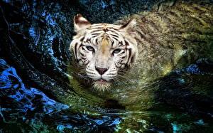 Картинка Большие кошки Тигры Воде Белых Смотрят Плывет животное