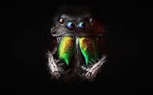 Фотография Пауки Глаза Крупным планом Пауки-скакуны