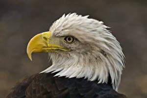 Фотографии Птица Орел Клюв Голова Животные