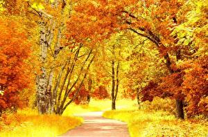 Картинка Времена года Осенние Деревья Березы Оранжевая Природа