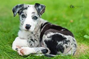 Картинка Собаки Щенок Взгляд Бордер-колли Животные