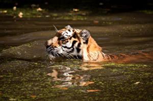 Фотографии Большие кошки Тигры Вода Пруд Плывущий Животные