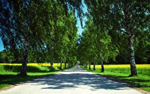 Фотография Дороги Лето Дерева Березы Аллея Природа
