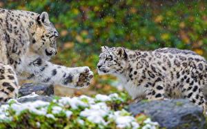 Картинка Большие кошки Ирбис Вдвоем Лап Животные