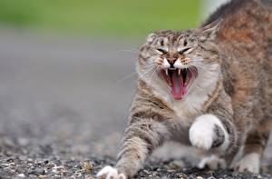 Фото Кошки Оскал Зевает Животные