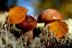 Фотографии Крупным планом Грибы природа Листва Еда