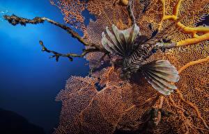 Фотография Подводный мир Рыбы Крылатки животное