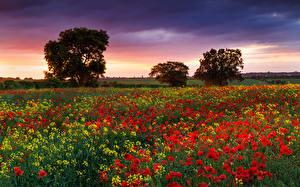 Картинки Мак Англия Поля Лето Рапс цветок