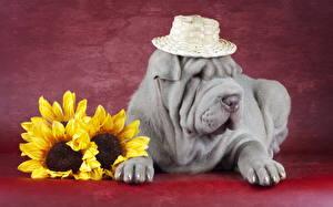 Картинка Собаки Подсолнухи Шарпей Шляпа Серый
