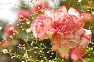 Фотография Гвоздики Крупным планом Цветы