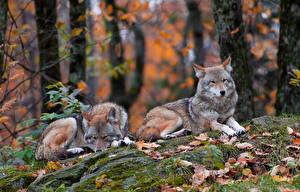 Фото Волк Двое Животные