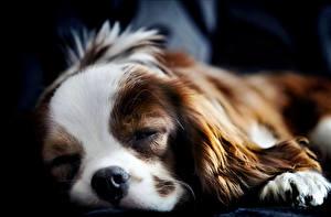 Картинка Собака Спаниель Щенок Спящий Кинг чарльз спаниель животное