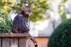Картинки Кошки Бенгальская кошка Сидит животное