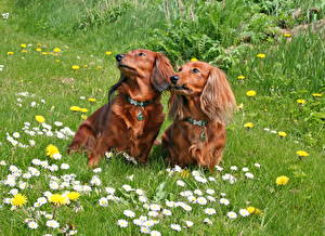 Картинка Собака Ромашки Такса 2 Траве животное