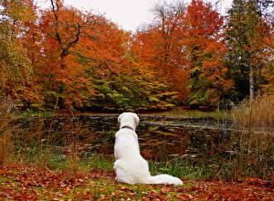 Фотография Времена года Осень Собака Озеро Ретривер Природа