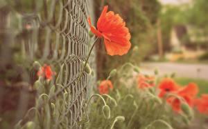 Картинки Маки Крупным планом Ограда Цветы