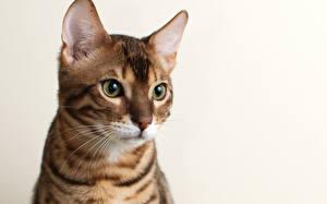 Фото Кошка Бенгальская кошка Смотрят животное