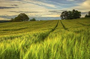 Фото Поля Швеция Пшеница Колос Природа