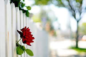 Обои Розы Крупным планом Забор цветок