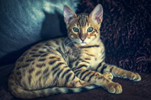 Картинка Коты Бенгальская кошка