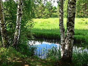 Фотография Реки Россия Дерева Березы Ярославль Которосль Природа
