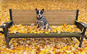 Картинки Собака Осень Листья Скамейка Австралийская пастушья Животные