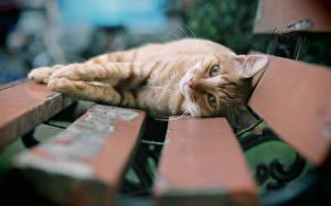 Картинки Кошки Скамья Доски Животные