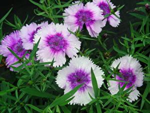 Фотографии Гвоздика Крупным планом цветок
