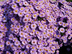 Обои Астры Много Фиолетовый amellus цветок