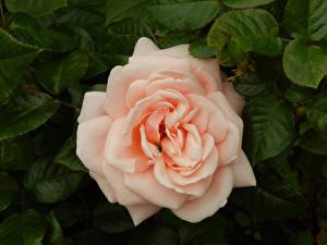 Картинка Роза Мухи цветок