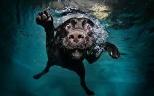 Картинки Собаки Подводный мир Воде Смотрят Ретривер Плавающий Животные