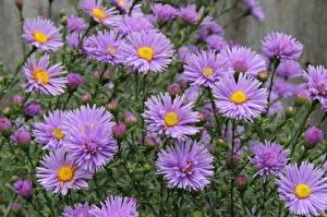 Фото Астры Много Цветы