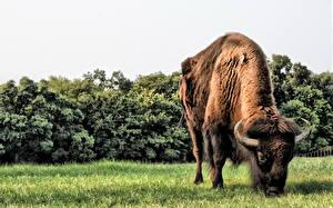 Фотография Быки Трава Животные
