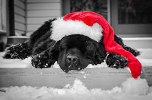 Фотография Собака Новый год Праздники Спят Шапка Ретривер Животные