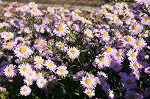 Фотография Астры Много ромашковая amellus цветок