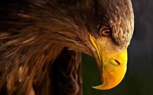 Фотографии Птицы Орел Клюв Голова Животные