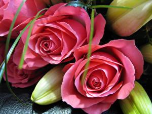 Обои Розы Лилии Вблизи Розовых Цветы