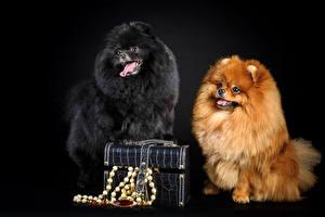 Картинки Собаки Шпица Вдвоем Черный Рыжая Черный фон Животные