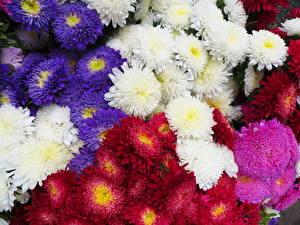 Фото Астры Много Белых Красный Фиолетовый цветок