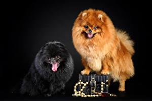 Обои Собаки Шпицев 2 Рыжий Черные Черный фон Животные