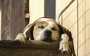 Картинка Собаки Морда Спящий Животные