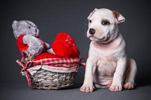 Картинки Собаки Плюшевый мишка Праздники Игрушки Корзинка Сердце Амстафф Животные
