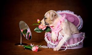 Обои Собаки Розы Корзинка Зеркало Амстафф