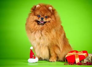 Картинки Собаки Шпиц Рыжий Сердце Животные